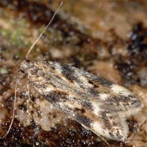 Caryocolum interalbicella 1
