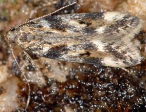 Caryocolum interalbicella 3