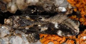 Caryocolum interalbicella 6