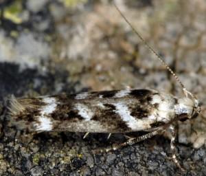 Caryocolum leucothoracellum 1
