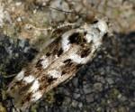 Caryocolum leucothoracellum (I, G)