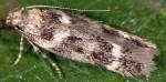Caryocolum mazeli (I, G)