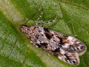 Caryocolum moehringiae 3