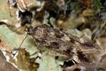 Caryocolum mucronatella (I)