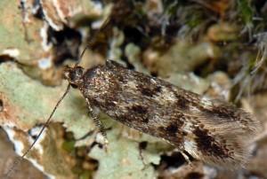 Caryocolum mucronatella 3