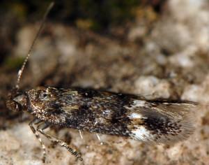 Caryocolum mucronatella 5