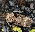 Caryocolum proxima (I)