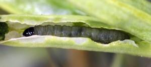 Caryocolum repentis L5 3