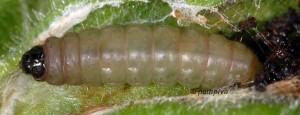 Caryocolum viscariella L5 1