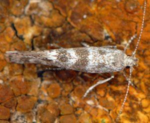 Catatinagma trivittellum 06 3