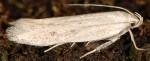 Caulastrocecis gypsella (I, G)