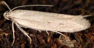 Caulastrocecis gypsella 2