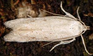 Caulastrocecis gypsella 3