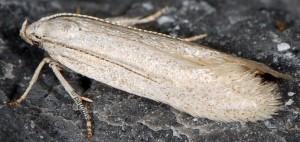 Caulastrocecis gypsella 4
