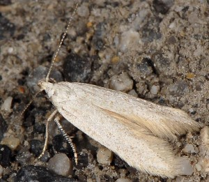 Caulastrocecis gypsella 5