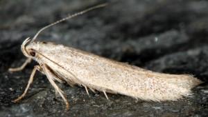 Caulastrocecis gypsella 6