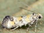 Chrysoesthia atriplicella (I, M, P)