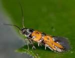 Chrysoesthia drurella (I)