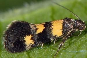 Chrysoesthia sexguttella 2