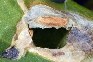 Chrysoesthia sexguttella c 1