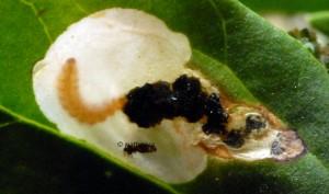 Chrysoesthia sexguttella m 1