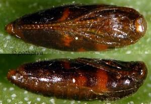 Chrysoesthia sexguttella p