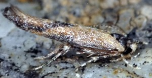 Coccidiphila danilevskyi 1