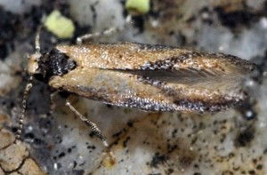 Coccidiphila danilevskyi 2