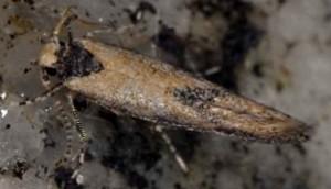 Coccidiphila danilevskyi 3