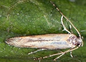 Coccidiphila danilevskyi 5