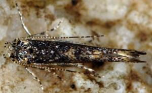 Coccidiphila gerasimovi 2