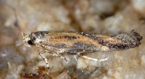 Coccidiphila gerasimovi 7