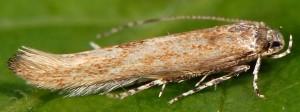 Coccidiphila gerasimovi 8