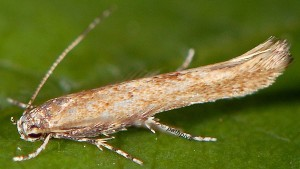 Coccidiphila gerasimovi 9