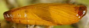 Coccidiphila gerasimovi