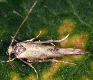 Coccidiphila ledereriella 2