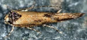 Coccidiphila rungsella 3