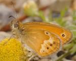 Coenonympha corinna (I)
