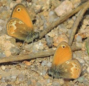 Coenonympha corinna 3