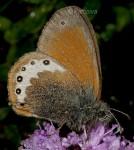 Coenonympha gardetta (I)