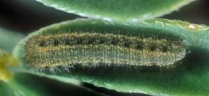 Colias alfacariensis L3