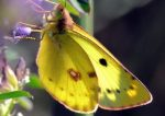 Colias-hyale-38-2