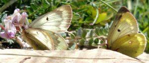 Colias phicomone 06 3