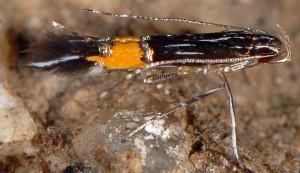 Cosmopterix crassicervicella 4