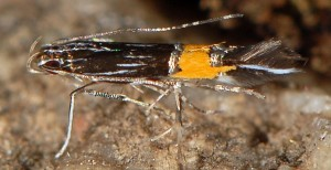 Cosmopterix crassicervicella 5