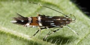 Cosmopterix pulchrimella