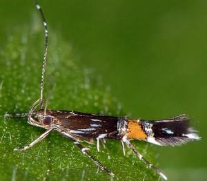 Cosmopterix pulchrimella 2