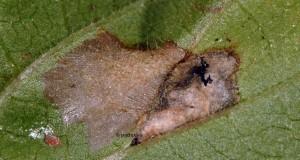 Cosmopterix pulchrimella m 2