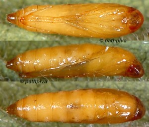Cosmopterix pulchrimella p