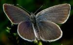 Cupido osiris (I)